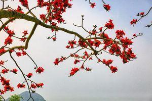 Mê mẩn với hoa gạo nở đỏ rực