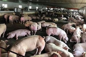 Bộ Giao thông vận tải triển khai nhiều biện pháp cấp bách ngăn chặn Dịch tả lợn châu Phi
