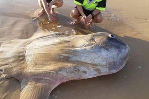 Cận cảnh cá mặt trời đại dương khổng lồ dạt vào bờ biển phía Nam Australia
