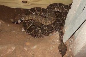 Hoảng hồn khi thấy ổ rắn cực độc 45 con lúc nhúc trong nhà