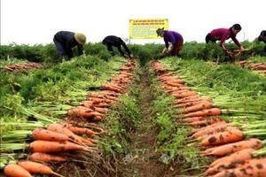 Tiêu thụ cà rốt mạnh, giá bán tăng cao