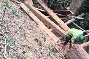 Lợi dụng khai thác keo trồng để phá rừng quy mô lớn