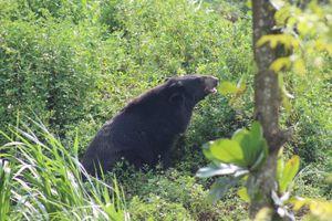 Phim tài liệu kêu gọi chấm dứt nuôi nhốt gấu
