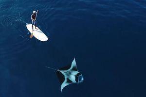 Chèo trên ván lướt sóng bên cạnh cá đuối khổng lồ ở Maldives