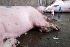 Cà Mau: Lại phát hiện lò giết mổ có heo bị bệnh lở mồm long móng