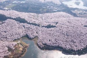 Chiêm ngưỡng hoa anh đào nở rộ trên đất nước Trung Quốc