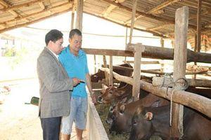 Sơn La: Trồng cỏ nuôi con uống nước lã, mỗi năm kiếm đôi trăm triệu đồng