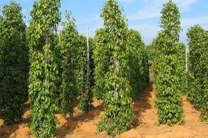 Bạc Liêu: Ứng dụng trồng tiêu dùng cây tràm sống làm trụ trên đất phèn