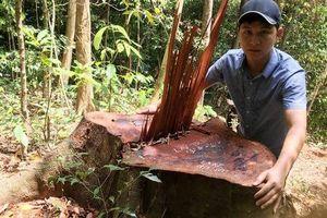 Cận cảnh khu rừng gỗ quý ở Quảng Bình bị 'lâm tặc' chặt phá tan hoang