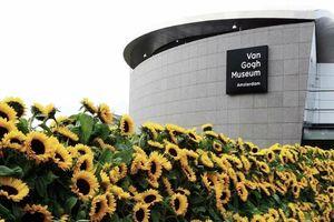 Mê cung hoa hướng dương đẹp xiêu lòng trước bảo tàng Van Gogh ở Hà Lan
