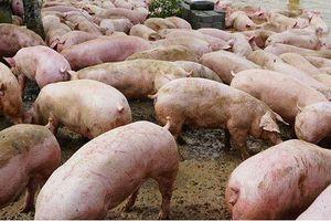 Xuất hiện ổ dịch bệnh tả lợn châu Phi đầu tiên ở Quảng Trị