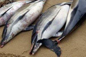 1.100 con cá heo chết thảm, mất vây dạt bờ biển Pháp