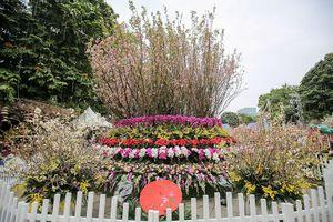 Tận mắt 'rừng' hoa anh đào Nhật Bản tại Hà Nội