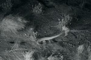 Chuột tung người đạp vào đầu rắn và thoát chết trong gang tấc