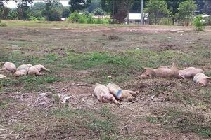 Cả chục con lợn bệnh chết vứt sát quốc lộ 14 ở Bình Phước