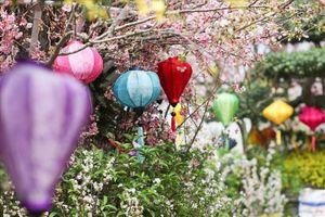 Mãn nhãn 30.000 cành hoa Anh đào khoe sắc giữa Thủ đô Hà Nội