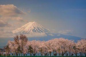 Hoa anh đào Nhật Bản: Từ 'hanami' đến 'yozakura'