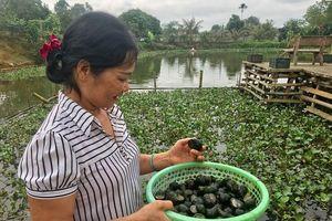 Hấp dẫn nghề nuôi ốc bươu đen ở Đô Lương