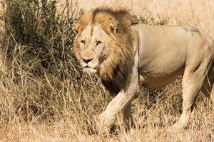 Nạn săn trộm đe dọa sư tử châu Phi