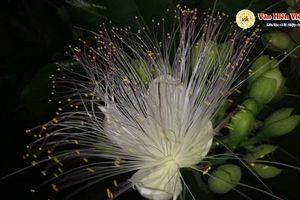 Quảng Ngãi: 'Hoa quỳnh' nở muộn trên đảo Lý Sơn