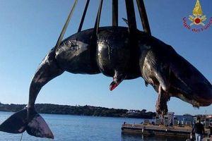 Xác cá voi mang thai dạt vào bờ có 22 kg rác nhựa trong bụng