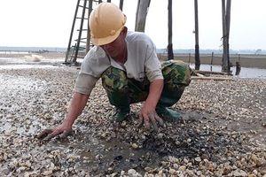 Hậu Lộc (Thanh Hóa): Ngao bỗng dưng chết trắng bãi