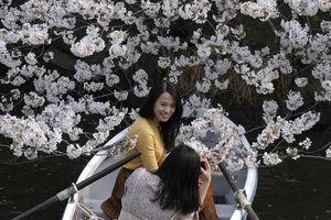 Hoa anh đào bung nở từ Tokyo đến Washington D.C.