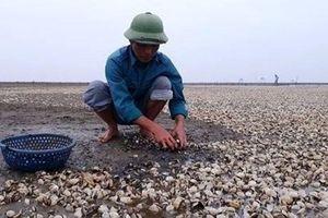 Người dân vùng biển Thanh Hóa điêu đứng vì ngao chết hàng loạt chưa rõ nguyên nhân