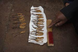 Trung Quốc triệt tham nhũng đông trùng hạ thảo