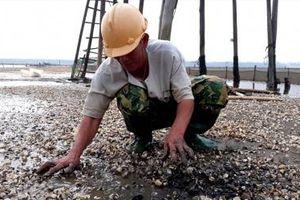 Cả nghìn tấn ngao chết tại Thanh Hóa là do mật độ nuôi dày