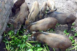 Bộ Tư pháp chính thức tuýt còi quy định 'lợn không được ăn cây chuối'