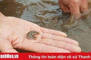 Xuất hiện 'sâu lạ' ăn ngao tại vùng nuôi huyện Nga Sơn