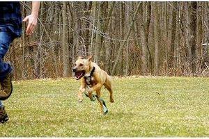 Cục Thú y: Chưa xử phạt được trường hợp nào chó thả rông ngoài đường