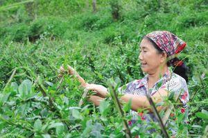 Ngành dược liệu Việt Nam: Đâu là đột phá?