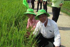 Giống lúa bán cao nhất thị trường, dân xứ Quảng mê có gì đặc biệt?
