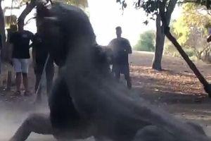 Cận cảnh trận chiến khốc liệt của những chú rồng Komodo
