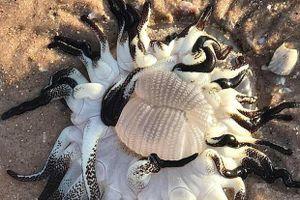 Sinh vật 'ngoài hành tinh' kì dị trôi dạt vào bờ biển Úc