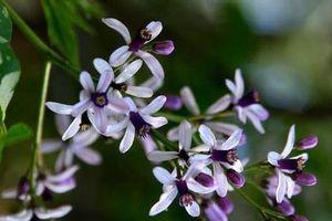 Hoa xoan đỏ trong thơ Nguyễn Bính có thật, đó là cây gì?