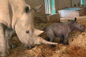 Cá thể tê giác trắng châu Phi đầu tiên chào đời tại Vinpearl Safari Phú Quốc
