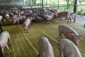 Long An chủ động phòng chống dịch tả lợn châu Phi