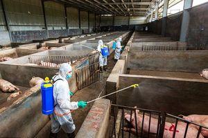 Trung Quốc tuyên bố kiểm soát hiệu quả dịch tả lợn châu Phi