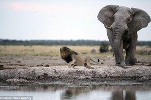 Liều mạng đi săn trộm tê giác, bị voi giẫm chết, sư tử ăn thịt