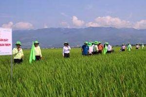 Trồng lúa giống TBR279 tốt như thế nào mà được bao tiêu giá cao?