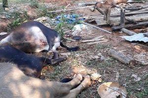 Bắc Kạn: Nhiều trâu, bò chết nghi do ngộ độc hóa chất