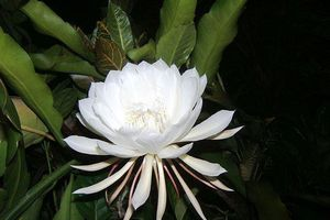 Top 5 loài hoa đắt đỏ nhất hành tinh