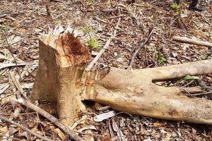 Vụ phá 2ha rừng tại Quảng Bình: Có dấu hiệu hình sự?