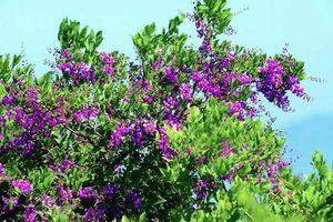 Điều bất ngờ về cây thàn mát nổi tiếng bán đảo Sơn Trà