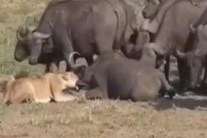 Báo thù cho đồng loại, trâu rừng lao đến bao vây khiến sư tử bỏ chạy