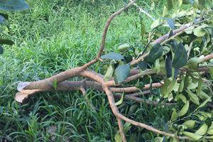 Vườn bưởi Năm Roi đang cho trái bị kẻ gian chặt ngang gốc