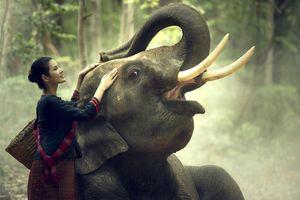 Vì sao gọi Lào là 'đất nước triệu voi'?